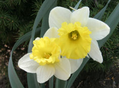 Daffodil Friends